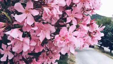 Photo of Oleander snoeien